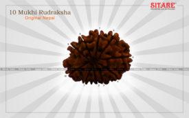10 Mukhi Rudraksha Original Nepal