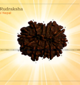 11 Mukhi Rudraksha Nepal